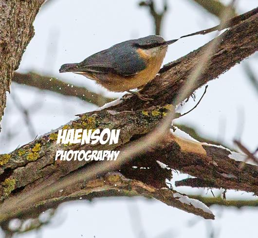 Winter-ist-zurück-Mitte-März-2018-Singvogel-im-Baum---Rotkehlchen